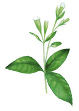 Stevia, the natural sweetener