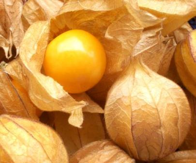 Andean Goldenberry: High in Pro Vitamin A