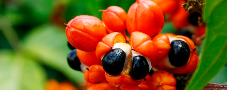 Amazon Guarana: Stimulating properties and Contradictions