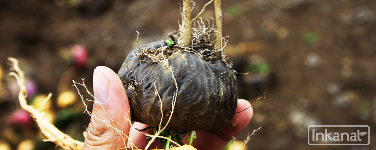 Black Maca: Against Infertility, Stress and Properties