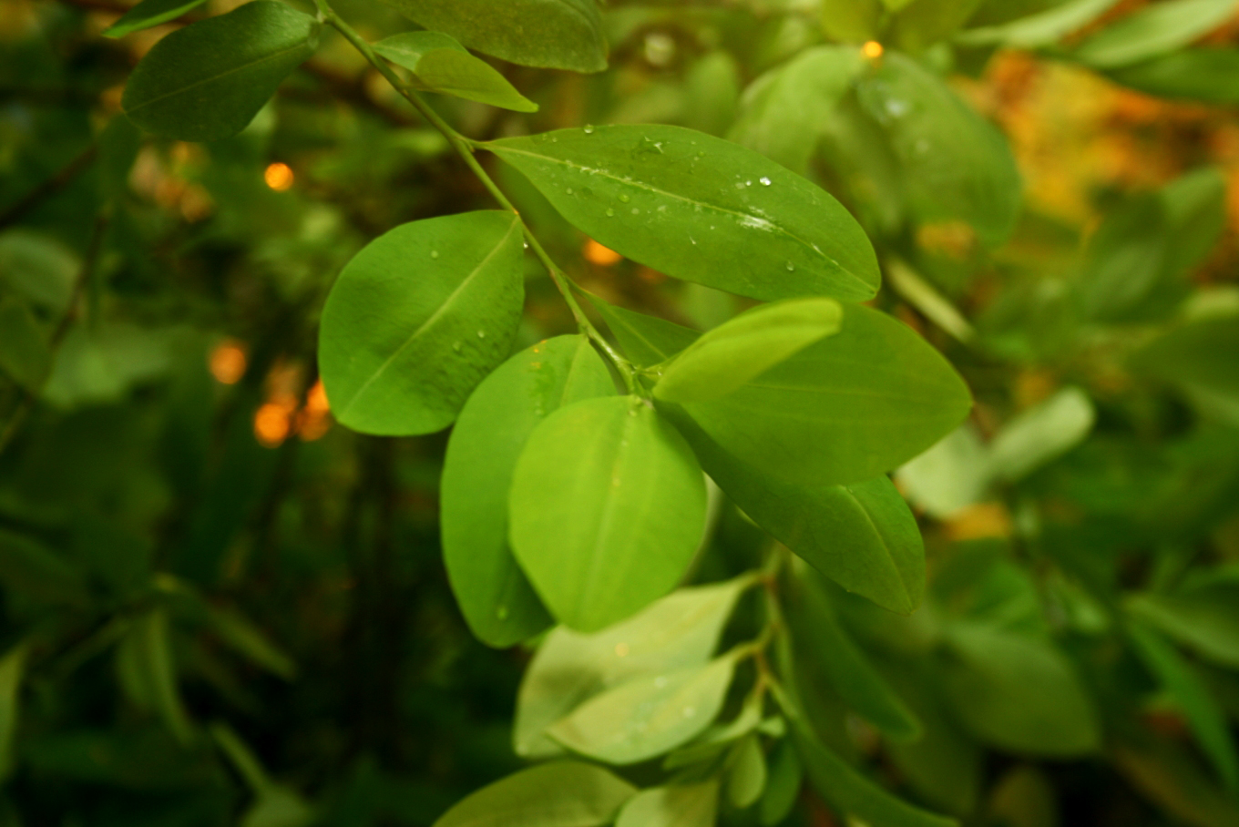 Coca Leaves: Functional food millennial Properties