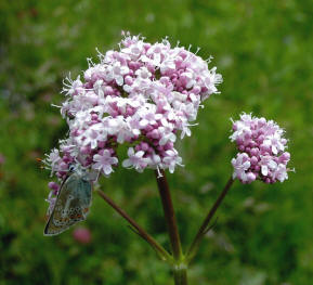 Andean Valerian: Fights Insomnia. Properties and Contraindications
